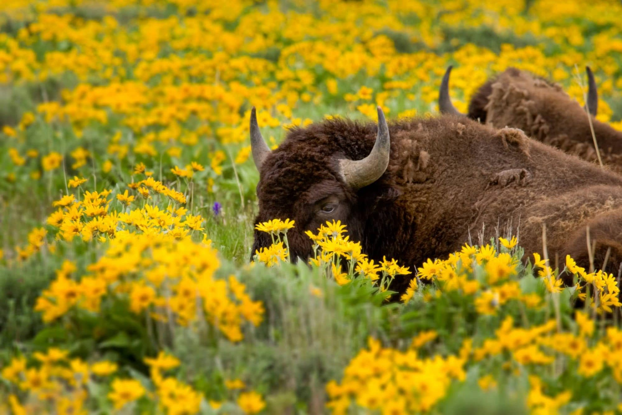 Teton Photo Adventures - Bison in the Flowers Wyoming