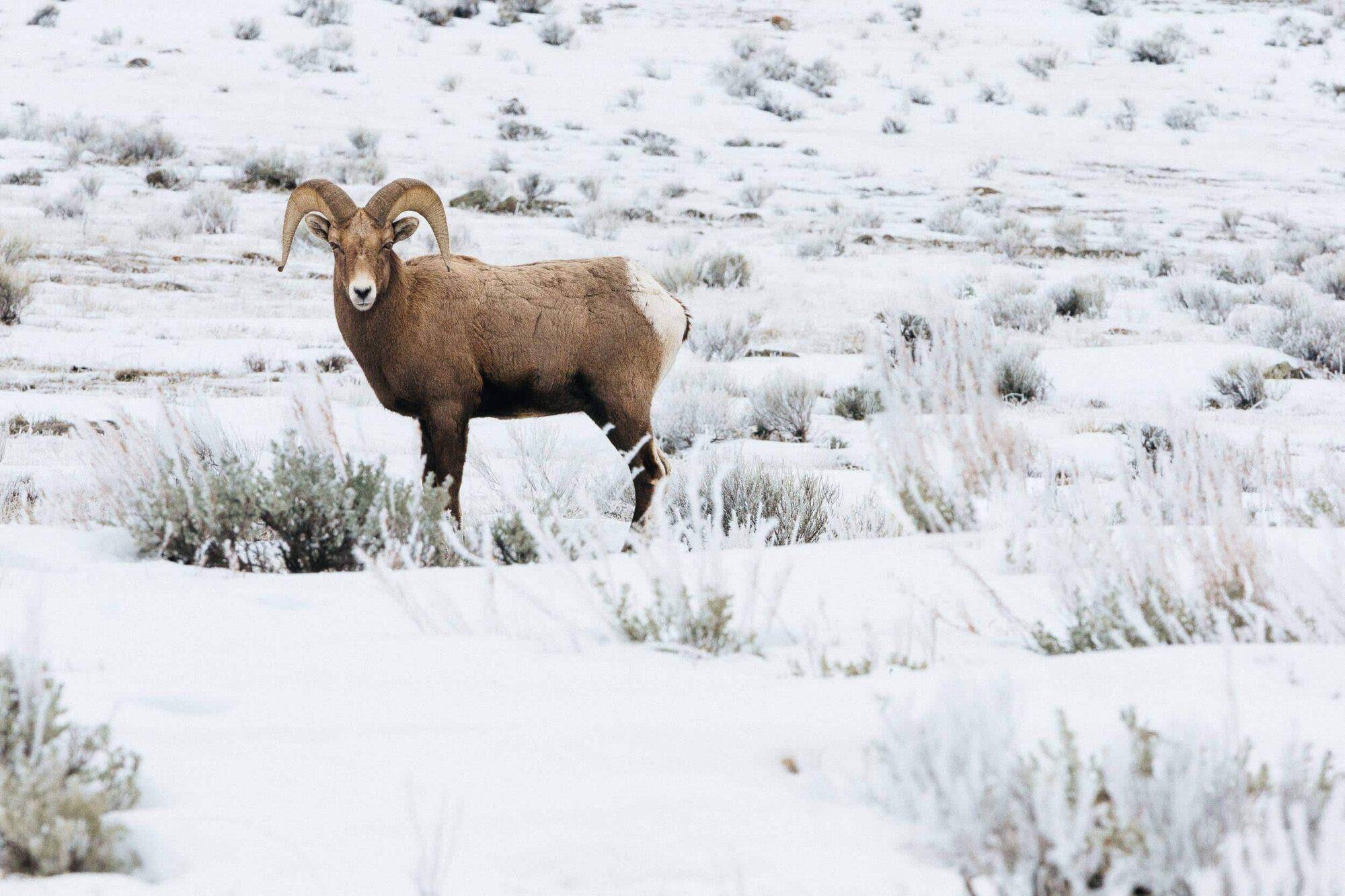 Teton Photo Adventures - Winter Bighorn Sheep Grazing Wyoming