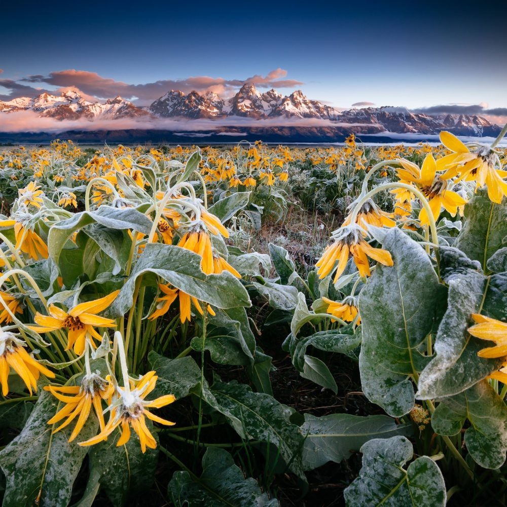 Teton Photo Adventures - Frost Encrusted Wildflowers at Sunrise © Jay Goodrich
