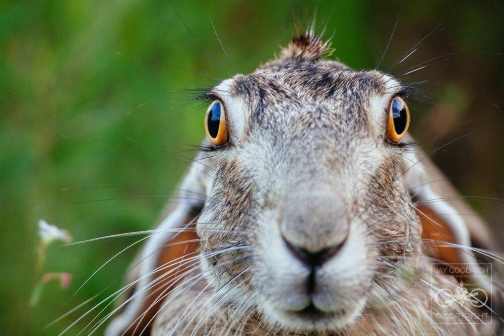 Great Wildlife Photos - Blacktailed Jackrabbit by Jay Goodrich