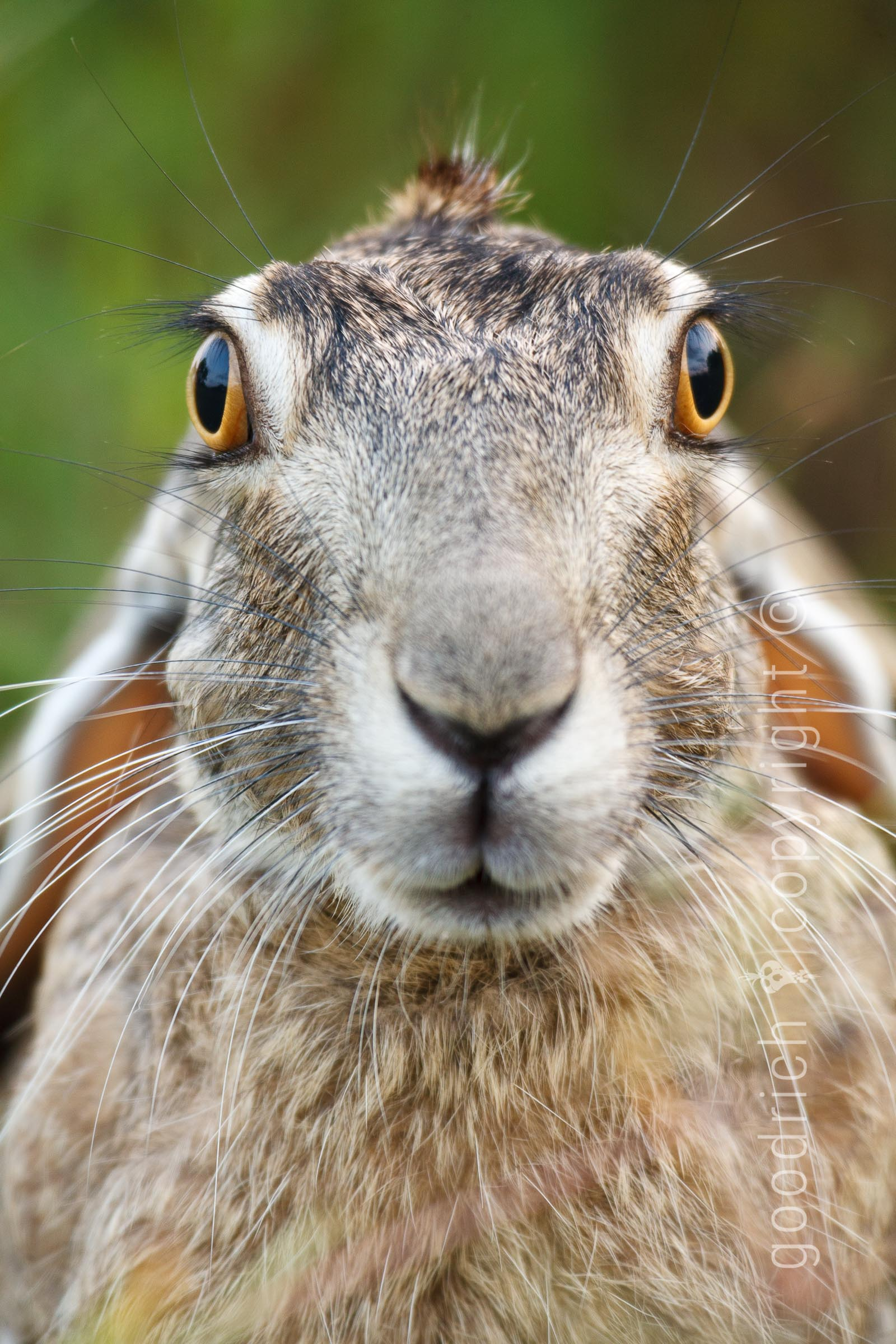 Rabbit portrait Texas by Jay Goodrich