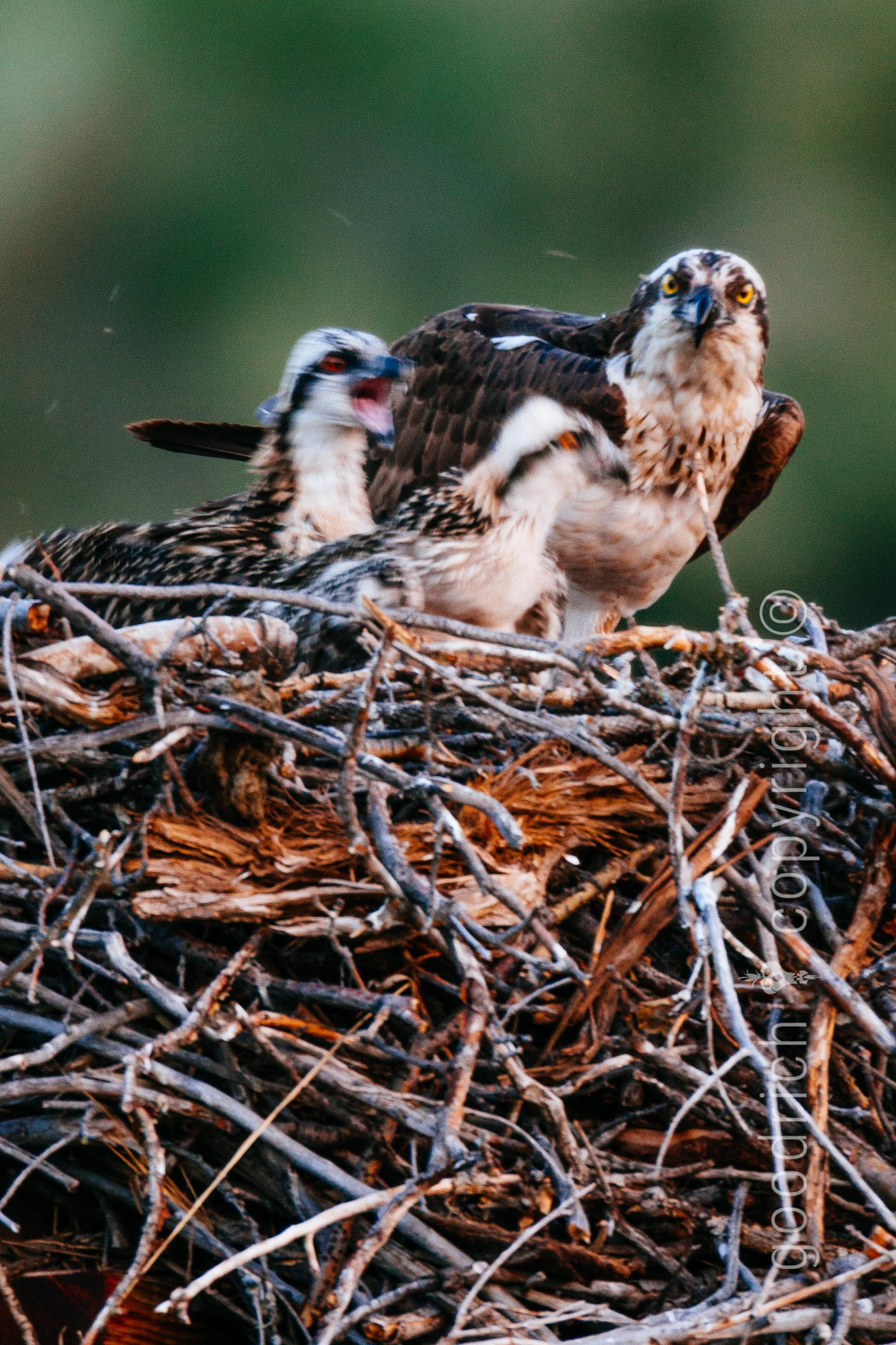 Reject a Photo post - out of focus osprey by Jay Goodrich