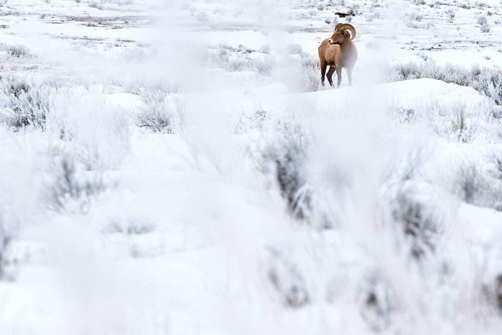 rule of thirds - big horn near Jackson, Wyoming by Jay Goodrich