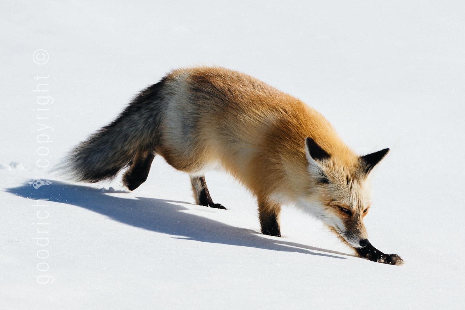choosing the right photograph - yellowstone fox by Jay Goodrich