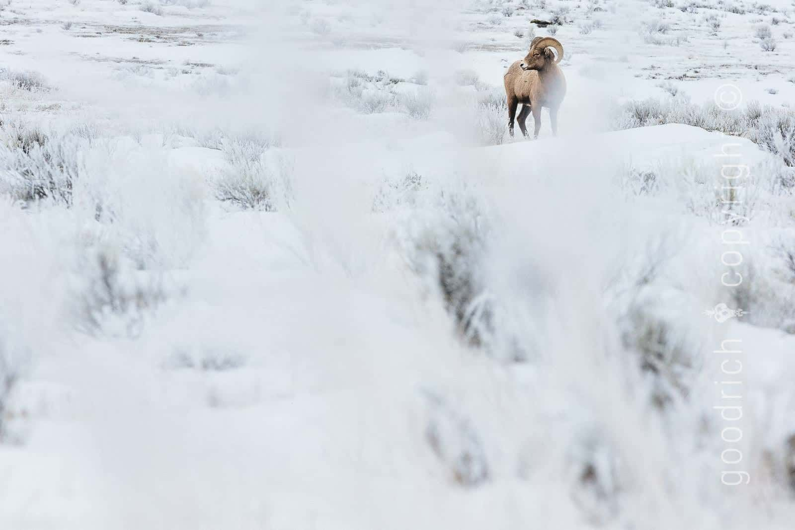 Rule of Thirds Post Photo - Bighorn Sheep by Jay Goodrich