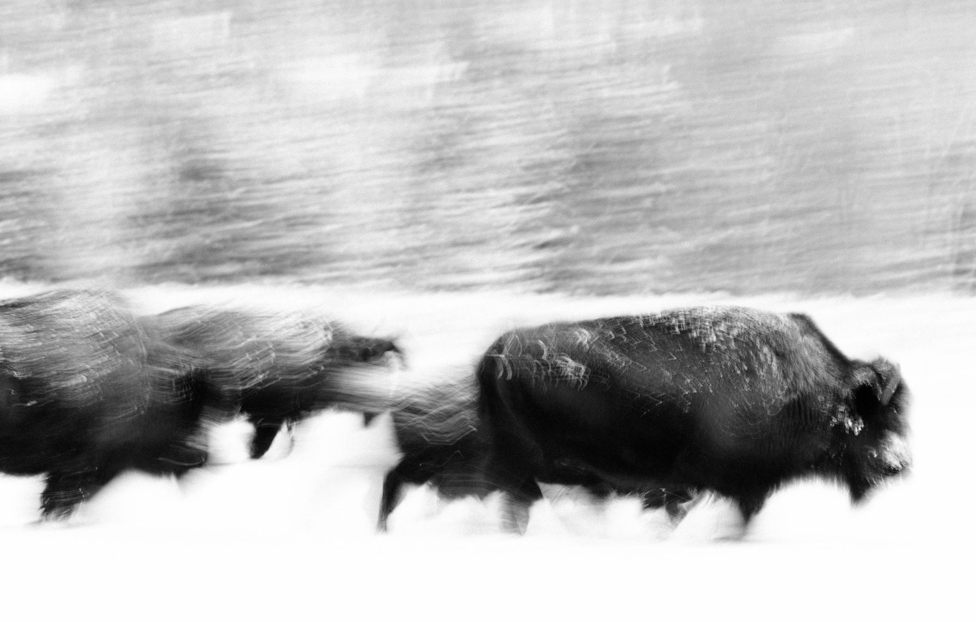 Lightroom Modules Header Photo - Winter Bison Wyoming © Jay Goodrich