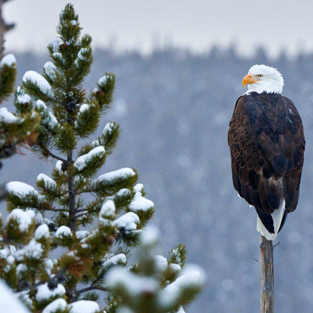 West Yellowstone Photo Adventure Bald Eagle Photo by Jay Goodrich