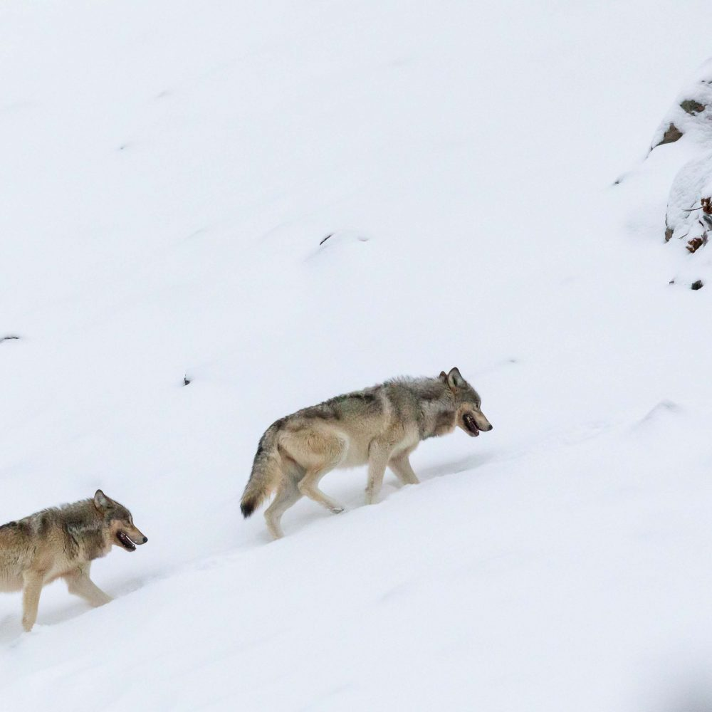 West Yellowstone Photo Adventure - wolves in West Yellowstone - by Jay Goodrich