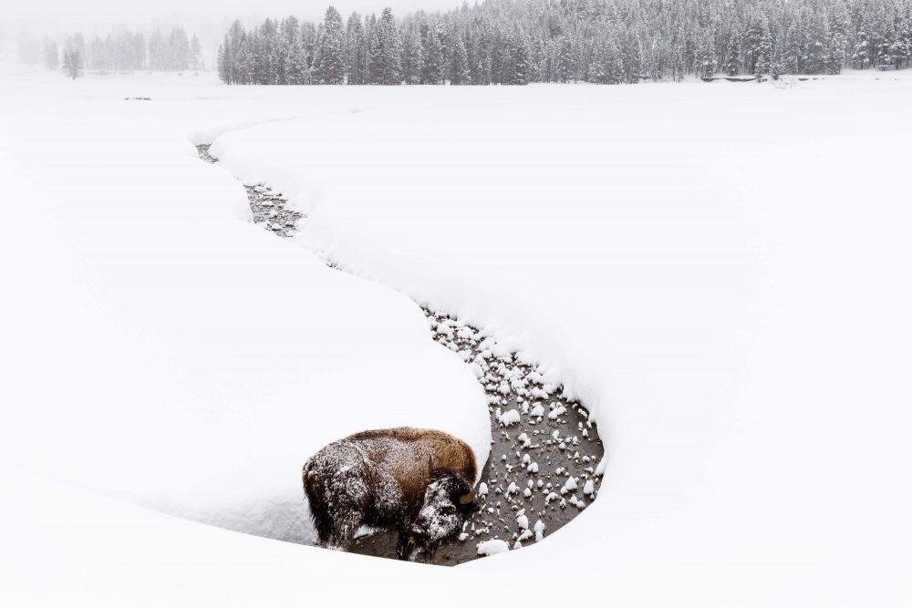 West Yellowstone Photo Adventure - Bison Yellowstone - Jay Goodrich