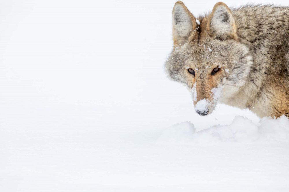 West Yellowstone Photo Adventure - winter coyote yellowstone - Jay Goodrich