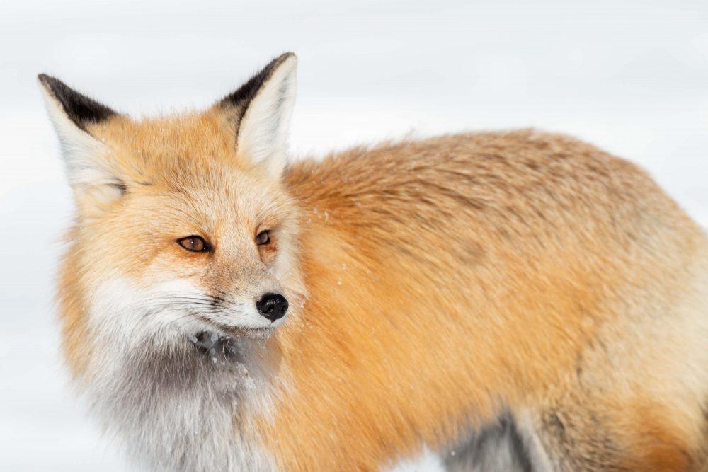 West Yellowstone Photo Adventure - red fox yellowstone - Jay Goodrich
