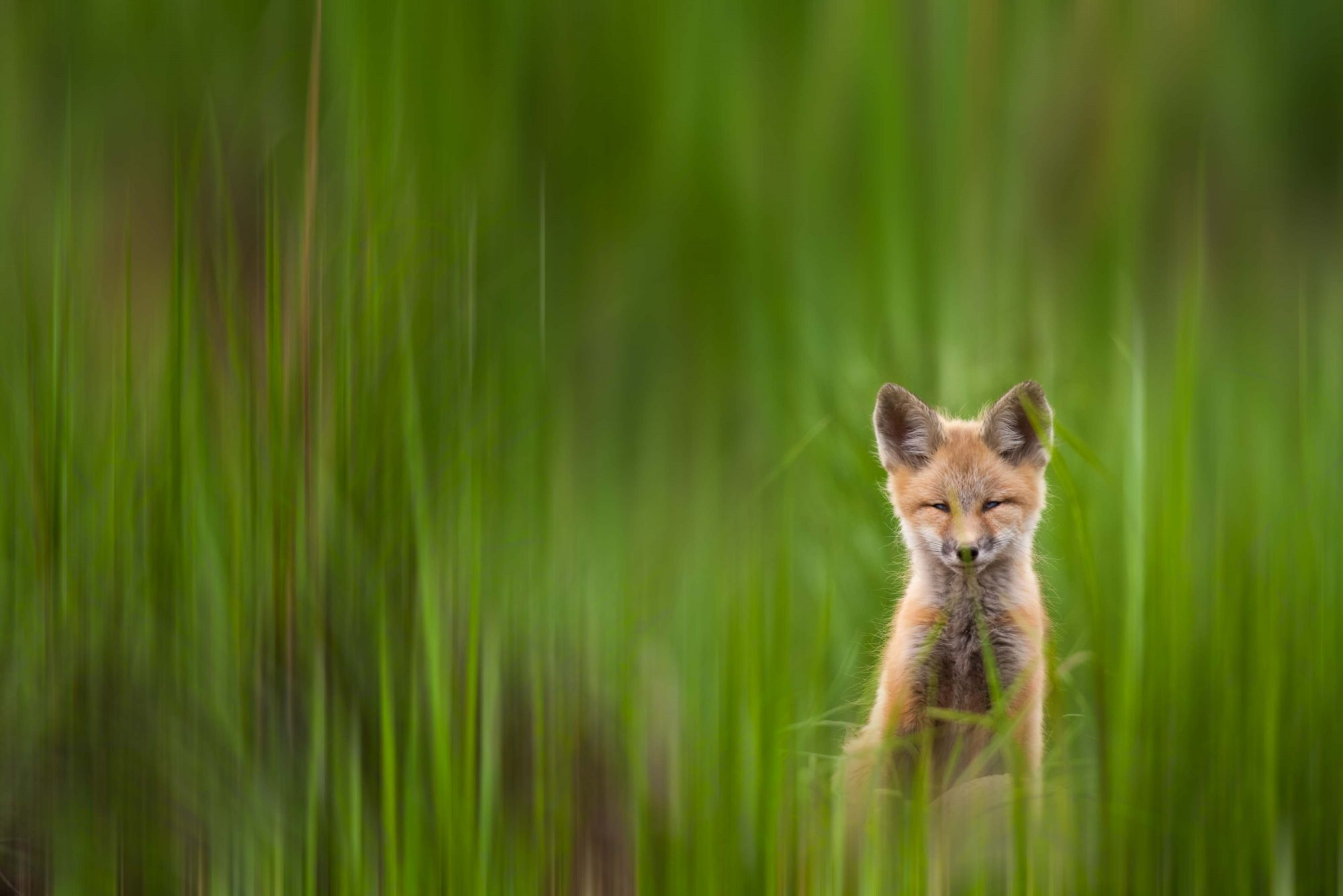 Lightroom Library Tips article header photo of red fox kit © Jay Goodrich