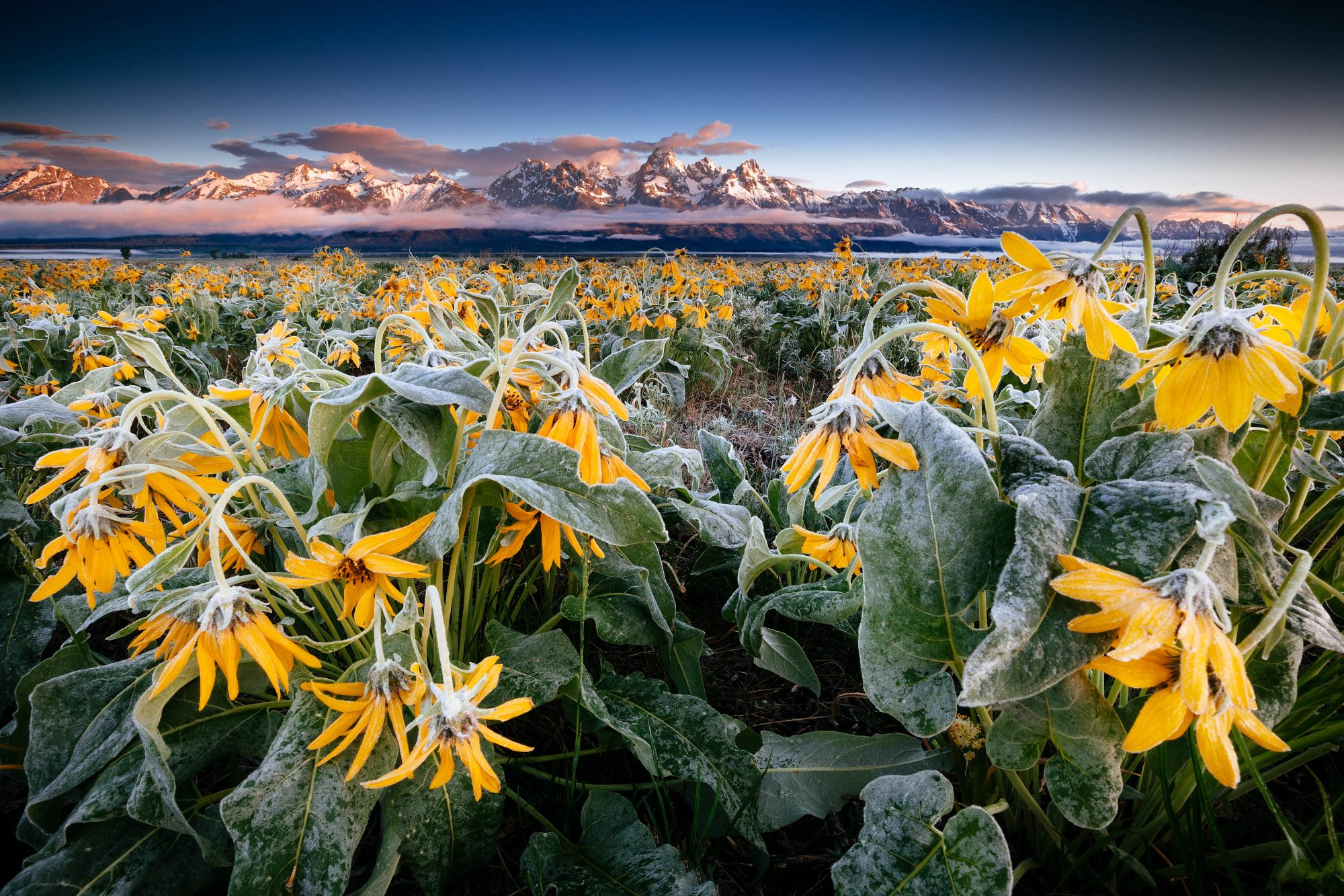 Sunrise and Arrowleaf Balsamroot over the Tetons by Jay Goodrich