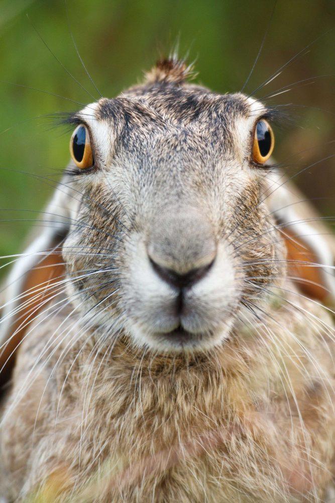 Black-tailed Jackrabbit portrait by Jay Goodrich