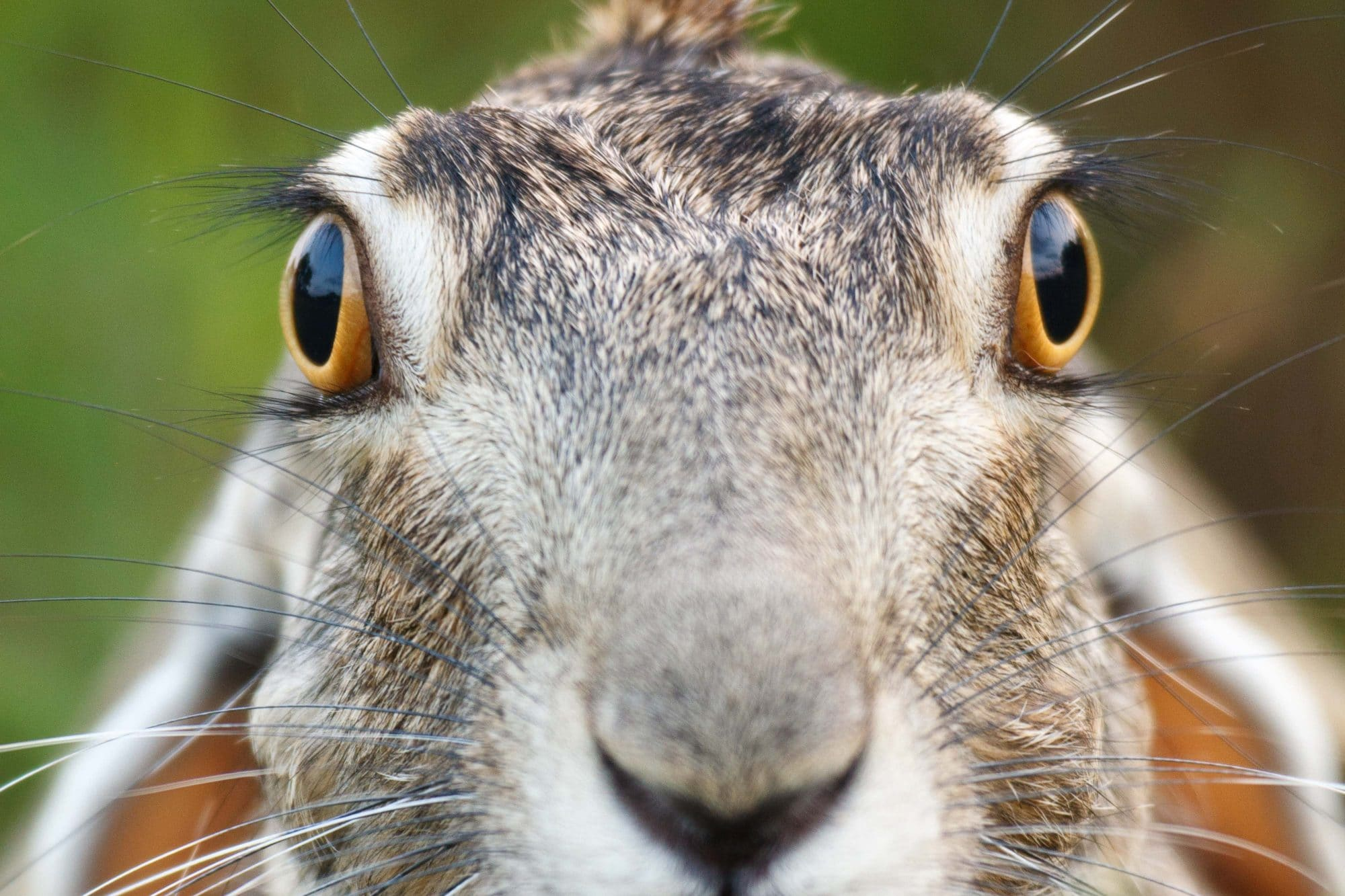 Black-tailed Jackrabbit portrait by Jay Goodrich