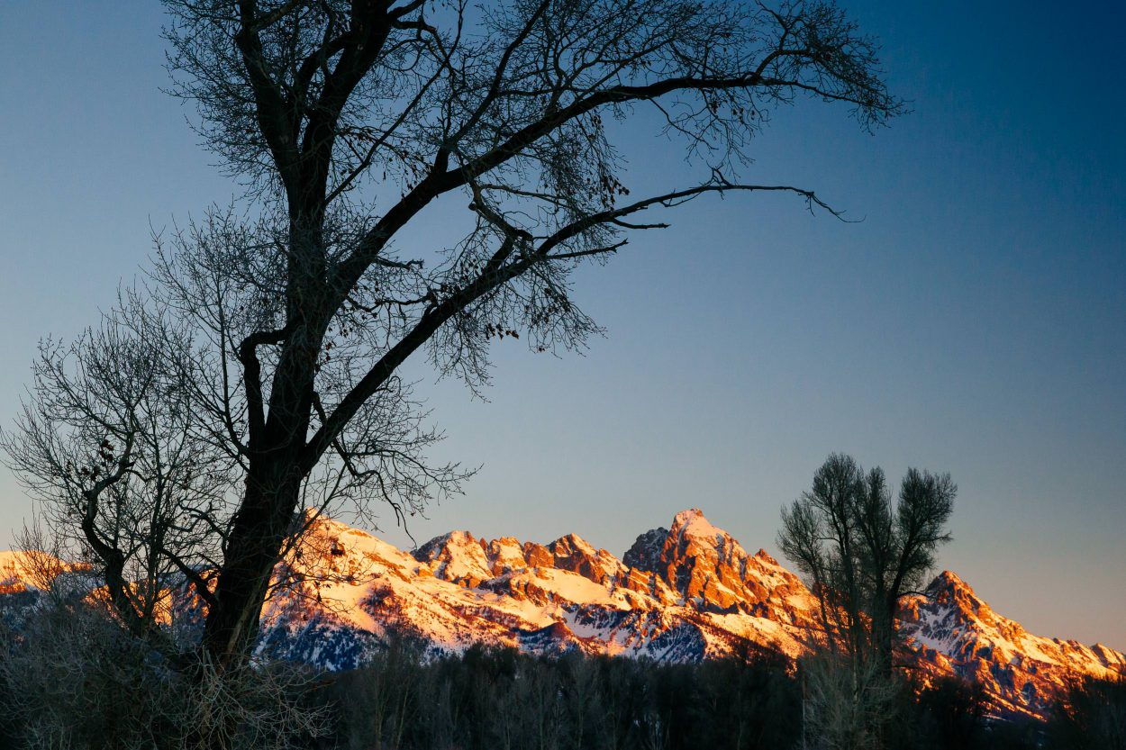 The Tetons at sunrise through frost covered cottonwoods during winter